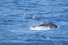 Hungry Beasts (Nicholas Ferrary) Tags: ocean blue sea fish nature fishing spain nikon bluefin tuna gibraltar straits straitsofgibraltar bluefintuna d300s nikond300s gibraltarwildlife nicholasferrary