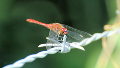 Dragonfly (andy_n_1976) Tags: red wild eye canon wings eyes legs dragonfly head barbedwire tamron darter 60d redgraveandlophamfen tamronsp70300lense