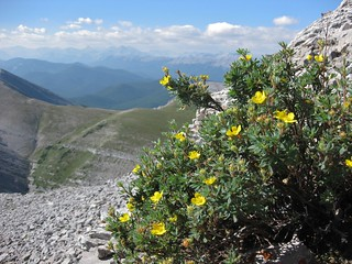 Moose Mountain Hike - 20 Shrubby Cinquefoil on summit approach