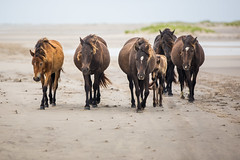 Beach Time is Over (jeff_a_goldberg) Tags: horse canada novascotia nationalgeographic wildhorse parkscanada loh sableisland feralhorse fishermansharbour sableislandhorse sableislandpony sableislandnationalparkreserve