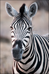 Zebra-portrait_DSC4302 (Mel Gray) Tags: africa portrait nature wildlife zebra namibia etosha africanwildlife