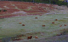 Highland Cattle. (B4bees) Tags: scotland scenery frost cattle perthshire tundra ruminants
