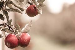 127. Ingrediens (89/365) (arctia) Tags: tree apple leaf 365 ingredient pple ppeltrd ingrediens 3652013