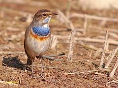 Ruiseñor Pechiazul (Luscinia svecica) (eb3alfmiguel) Tags: aves pechiazul insectívoros pájaros
