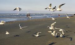 Cte d'Opale, mare basse (Ytierny) Tags: france horizontal marin sable vol paysage plage oiseau mouette jete merdunord pasdecalais nieuport marebasse littoral ctedopale vacancier estivant ytierny