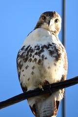 Bird on a Wire (Darren-) Tags: portrait newyork bird nature hawk young longisland nikond5100