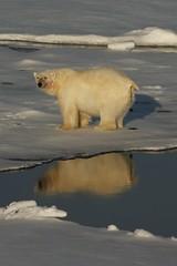 Polar Bear having a poo (David Nunn) Tags: ocean bear sea ice norway kill with svalbard arctic polarbear pack seal poo polar bearded spitsbergen ursus spitzbergen ursusmaritimus maritimus