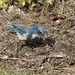 Scrub Jay hunting insects, including termites