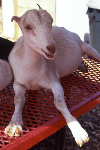 Petting Zoo Goat!