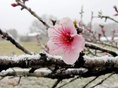 Peach Blossom (David Hoffman '41) Tags: pink brown white snow flower tree nature season virginia spring branch blossom peach pistil stamen twig bloom buds blush confusion charlottecourthouse charlottecounty