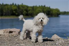DSC_0393 (williamsdaniel) Tags: dog argentina nikon perros mascota caniche dubys d5100