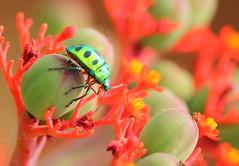 Florescent Alien Bug !! ;) (brb_clicks) Tags: india macro colors closeup canon garden insect bokeh bangalore lalbagh bokehlicious macroelsalvador natureselegantshots panoramafotográfico bugsssss faunayfloradelmundo mygearandme top25naturesbeauty nature'splus