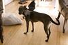 batdog5 (dull-roar) Tags: dog halloween bat batdog