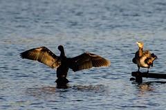 DSC_5243 (Julian R Rouse) Tags: winter reflection nature water birds nikon december wildlife naturereserve wwt wildfowl uptonwarren julianrouse