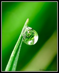 Morning Dew (Adam Halstead) Tags: morning macro green water grass canon lens is leaf 100mm ii dew bubble droplet speedlite f28l 430ex 550d