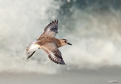 grey plover (Sandeep Somasekharan) Tags: winter grey sandy kerala plover migrant wader sandeepsomasekharan purakkad