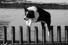 Leaper (EJ Images) Tags: uk england bw dog pet slr beach monochrome animal coast blackwhite mac nikon collie bc sheepdog norfolk canine coastal bordercollie dslr leaping eastanglia jumpingdog caister d90 norfolkcoast nikondslr 2013 nikond90 caisterbeach 18105mmlens norfolkcoastal ejimages jumpingmac jumpingcollie dsc0406c2