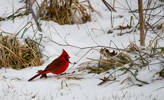 Male Cardinal  2014 - 008 (IamLisaLisa) Tags: winter red snow cold color male bird cardinal