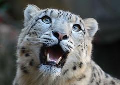 Schneeleopard (karinrogmann) Tags: snowleopard schneeleopard kölnerzoo mygearandme mygearandmepremium leopardodineve