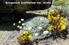 100_1210 (sierrarainshadow) Tags: lake carson pass trail eriogonum sedum var winnemucca ovalifolium nivale lanceolatum