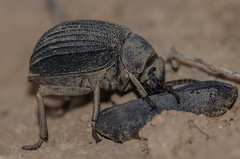 DSC_1264 (jack_246) Tags: beetle beetles oman animalia arthropoda coleoptera salalah insecta linnaeus 1758 pterygota dhofar neoptera endopterygota