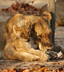 """I Love Being Cuddled""  6867 (Bonnieg2010) Tags: africa wild nature animal hug predator lioncub tenderness zambia southluangwa allrightsreserved lionessandcub mygearandme allnaturesparadise bonniegrzesiak"