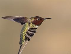 Anna's Hummingbird, Calypte anna (markvcr) Tags: bird wings marin ngc stretching annashummingbird calypteanna specanimal naturethroughthelens irradescence