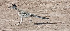 Moving On -- Greater Roadrunner (Geococcyx californianus); Albuquerque, NM, Los Poblanos Open Space [Lou Feltz] (deserttoad) Tags: shadow newmexico bird nature field desert cuckoo wildbird