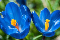 Spring flower (Miss_Spi) Tags: flower nature spring crocus