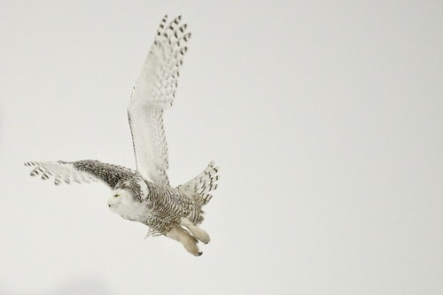 Snowy Owl by Jamie In Bytown, on Flickr
