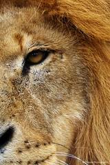 DSCF0234 (ChantelleHarper) Tags: africa uk portrait face cat kent big feline europe king britain african wildlife profile lion bigcat crown british sanctuary mane carnivore africanlion kingofthejungle wildlifeheritagefoundation whf