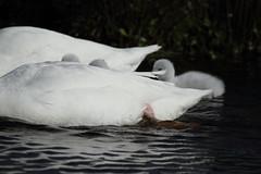 DPP_0068.jpg (Hans Elzer) Tags: vogels zwanen boskoop