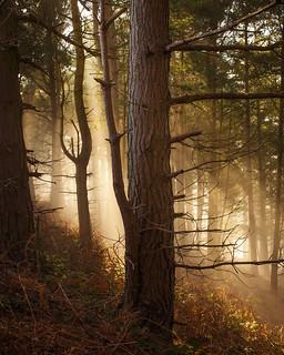 Pinewoods 2