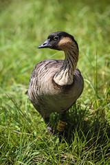 Nene Goose (Branta sandvicensis) (Photo Patty) Tags: islands kauai hawaiian nenegoose brantasandvicensis hanaleinwr