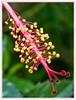 Androecium (Juan D. Martinez) Tags: naturaleza flower nature valencia lumix backyard juan venezuela flor panasonic hibiscus jardín venezolano cayena venezolana macrolens dcr250 raynox raynoxdcr250 androceo dmcfz200 panasonicdmcfzseries
