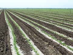 SWKern_102-KyA_Spinach_1 (SierraSunrise) Tags: california vegetables farming soil crops agriculture spinach centralvalley furrow chenopodiaceae kerncounty