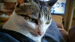 20150621_152506_HDR~2 (evenkolder) Tags: uk closeup cat g4 phone lg korean oxford shorthair oxfordshire nibbler koreanshorthair lgg4