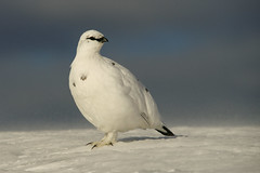 Ptarmigan (J J McHale) Tags: rockptarmigan lagopusmuta ptarmigan scotland highlands winter snow nature wildlife