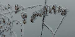 frozen nature 6642 (s.alt) Tags: nature natureunveiled frost winter ice rauhreif cold kalt morgen eiskristall kristallförmig vereist niederschlag hoarfrost whitefrost rime frostyrime frozen detail icecrystal frozennature macro blatt frosted