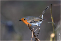 N° 736 / Rouge gorge familier ( Erithacus rubecula ) Focus Distance - 5.01 m (norbert lefevre) Tags: oiseau passereau rougegorge familier nikon d610 300mmf4