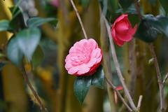 Carmelia DSC00218 (benhosg) Tags: gardensbythebay cloudforest carmelia