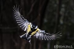 Carbonero común macho en vuelo ( Parus major) (Esmerejon) Tags: carbonerocomúnmachoenvuelo parusmajorrealizadacontécnicadealtavelocidad técnicadealtavelocidad congelacióndelaimagen ave pájaro naturaleza naturalezasuspendidad