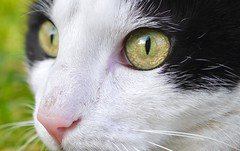 🐱 Moustic Eyes - Cat 🐱 (Boutillier Geoffrey) Tags: chat chats cats cat miaou féllin yeux eyes eye macro panasonic lumix gx7 poils poil vert blanc noir jaune reflet regard couleurs colors animaux animal domestique french pictures photography arts