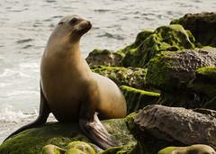 On the Rocks (Gwmullis) Tags: gregmullisphotography la jolla cove seal san diego