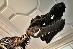 IMG_0631 (jaybluejeans94) Tags: manchester manchestermuseum museum animal animals skeleton uk architecture reptile reptiles bones lizard chamelion dinosaur nature