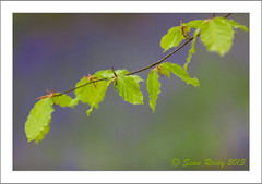 Beech leaves in a bluebell wood (liveforphotos) Tags: wood green leaves bluebells forest beech seanreidy liveforphotos