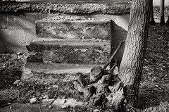 steps and stumps (fallsroad) Tags: blackandwhite bw house abandoned stone ruin sapulpaoklahoma nikond7000