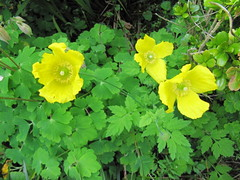 Welsh poppies (Meconopsis cambrica) (wallygrom) Tags: england westsussex mygarden eastpreston may2013 mygarden2013