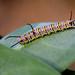 IMG_5834  Danaus chrysippus, Caterpillar
