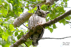 great-horned-owl (Pattys-photos) Tags: idaho greathornedowl marketlakewildlifemanagementarea